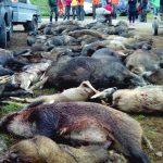 Com utilitzar la caça per reduir les poblacions de senglar