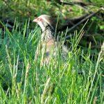 Canviar l'aplicació de la PAC per conservar la Biodiversitat i recuperar la perdiu roja silvestre