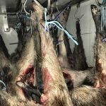 El procediment correcte per a la comercialització de la carn de caça