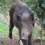 Malalties contagioses en animals de caça: perill o pànic?