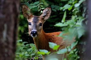 cabirol femella espiant a dins el bosc