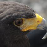 La caça a vista d'ocell